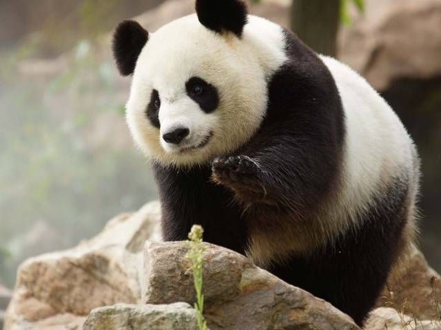 Huan Huan, la femelle panda du Zoo de Beauval attend des jumeaux